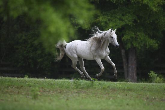Ploomwood Arabians 003-Bob Langrish-Photographic Print