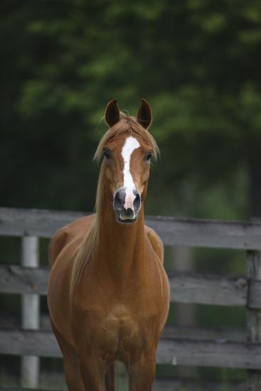 Ploomwood Arabians 008-Bob Langrish-Photographic Print