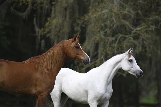 Ploomwood Arabians 022-Bob Langrish-Photographic Print