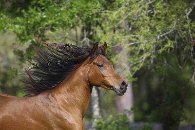 Ploomwood Arabians 046-Bob Langrish-Photographic Print