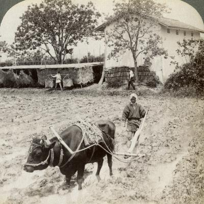 Ploughing Flooded Ground for Rice Planting, North of the Main Road at Uji, Near Kyoto, Japan, 1904-Underwood & Underwood-Photographic Print