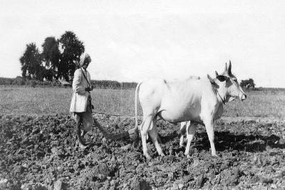 Ploughing in India, 1917--Giclee Print