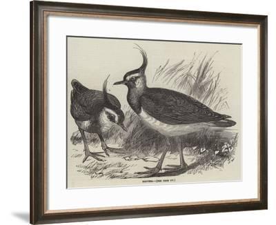 Plovers--Framed Giclee Print