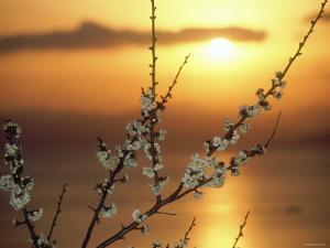 Plum Blossoms at Sunset, Ehime, Shikoku, Japan