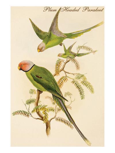 Plum Headed Parakeet-John Gould-Art Print