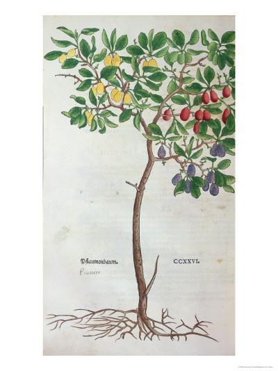 Plum Tree, a Botanical Plate from the Herbarium by Leonhart Fuchs--Giclee Print