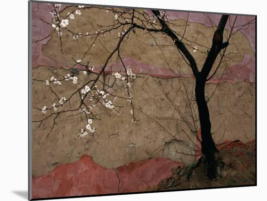 Plum Tree against a Colorful Temple Wall-Raymond Gehman-Mounted Photographic Print