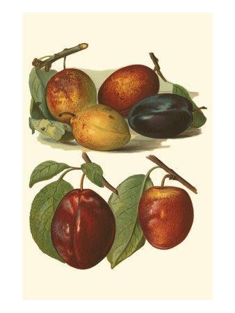 https://imgc.artprintimages.com/img/print/plum-varieties-i_u-l-q11af8p0.jpg?p=0