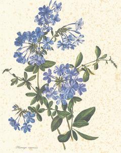 Plumago Capensis
