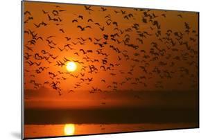 Plumed Whistle Ducks in Flight at Sunset