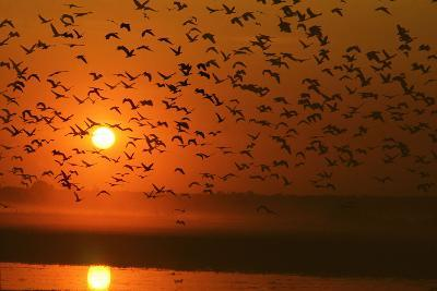 Plumed Whistle Ducks in Flight at Sunset--Photographic Print