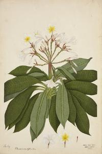 Plumeria Acutifolia Poir, 1800-10