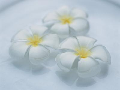 Plumeria Singapore Obtusa Blossoms Float in a Bowl of Water--Photographic Print
