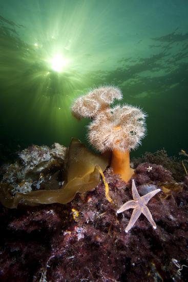 Plumose Anemones (Metridium Senile) And Common Starfish (Asterias Rubens) Beneath The Sun-Alex Mustard-Photographic Print