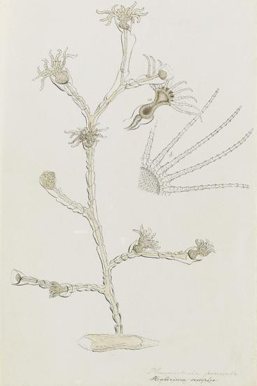 Plumularia Pinnata: Hydrozoan-Philip Henry Gosse-Giclee Print