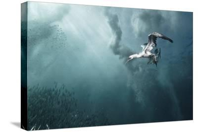 Plunge Diver-Alexander Safonov-Stretched Canvas Print