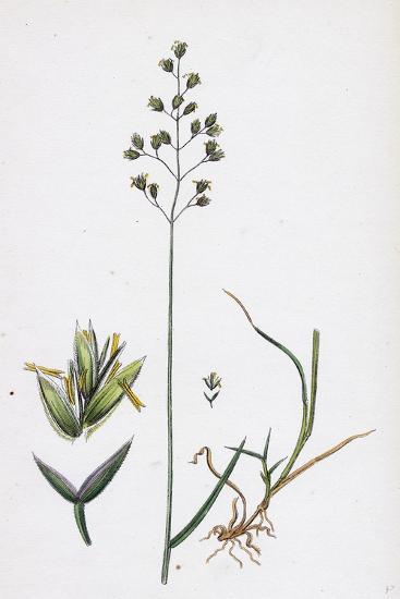 Poa Balfourii Balfour's Meadow-Grass--Giclee Print
