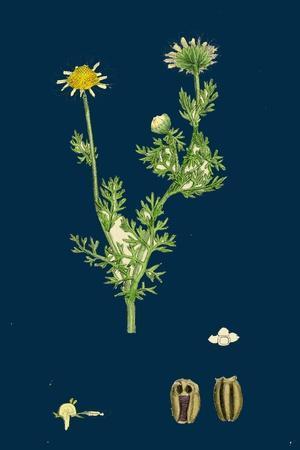 https://imgc.artprintimages.com/img/print/poa-caesia-caesious-meadow-grass_u-l-pvg1mv0.jpg?p=0