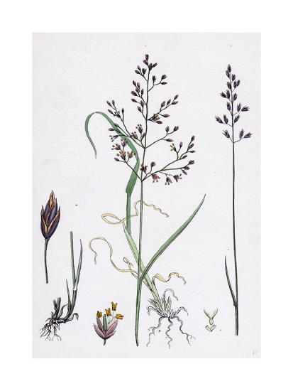 Poa Dissitiflora Glaucous Meadow-Grass--Giclee Print