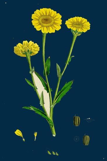Poa Pratensis, Var. Subcaerulea; Smooth Meadow-Grass, Var. Y--Giclee Print