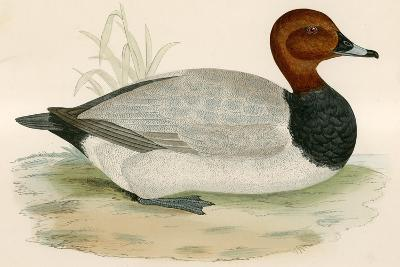 Pochard-Beverley R. Morris-Giclee Print