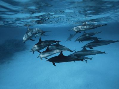 Pod of Dolphins--Photographic Print