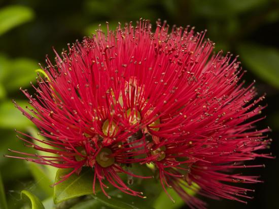 Pohutukawa Flower, Dunedin, South Island, New Zealand-David Wall-Photographic Print