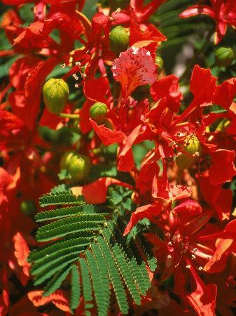 https://imgc.artprintimages.com/img/print/poinciana-tree-blossoms-bermuda_u-l-p4giip0.jpg?p=0