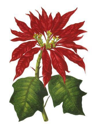 https://imgc.artprintimages.com/img/print/poinsettia-flowers-1873_u-l-p7h99u0.jpg?p=0