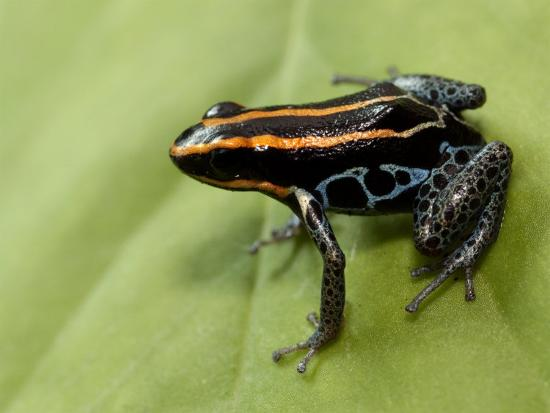 Poison Arrow Frog, Yasuni National Park, Ecuador-Pete Oxford-Photographic Print