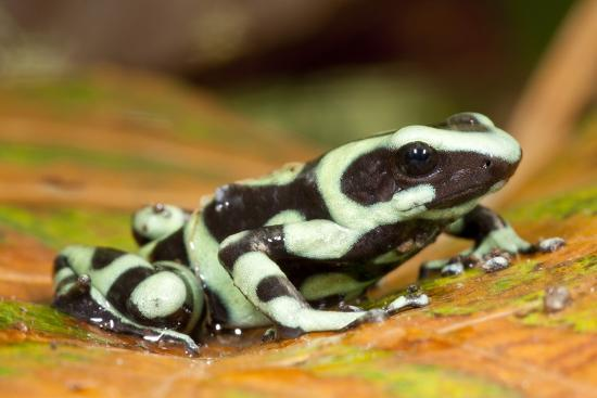 Poison Dart Frog, Costa Rica-Paul Souders-Photographic Print