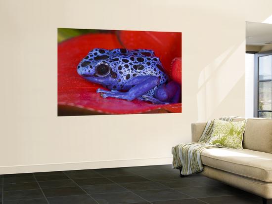 Poison Dart Frog on Red Leaf, Republic of Surinam-Jim Zuckerman-Wall Mural
