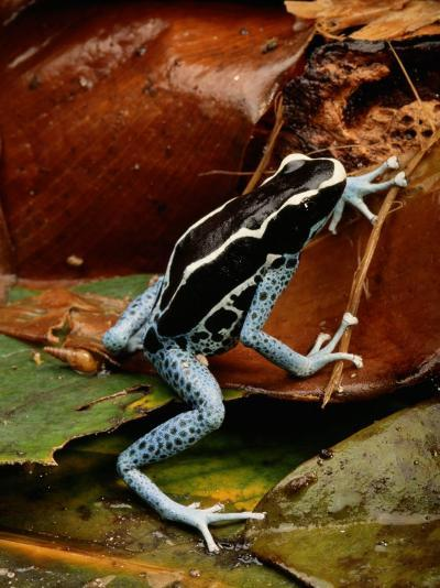 Poison-Dart Frog-George Grall-Photographic Print