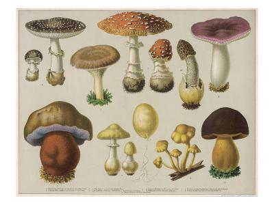 Poisonous Mushrooms--Giclee Print