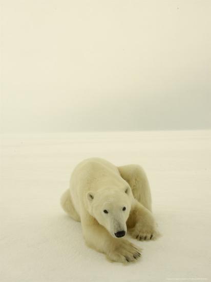 Polar Bear, a Male Wandering at Cape Churchill on the Shores of Hudson Bay, Near Churchill, Canada-Daniel J. Cox-Photographic Print
