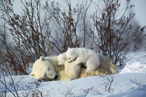 Polar Bear Adult Lying Down with Cubs, Both