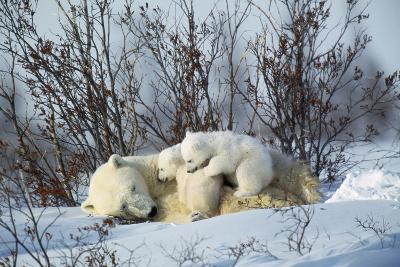 Polar Bear Adult Lying Down with Cubs, Both--Photographic Print