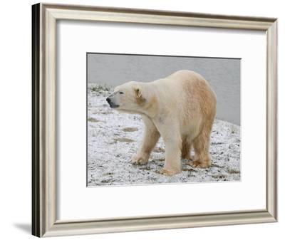 Polar Bear after the Bath-Martin Fowkes-Framed Giclee Print