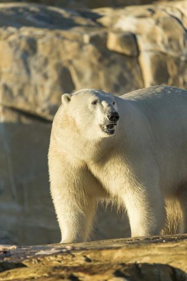 Polar Bear along Hudson Bay, Nunavut, Canada-Paul Souders-Photographic Print