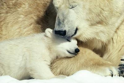 Polar Bear and Cub--Photographic Print
