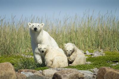 https://imgc.artprintimages.com/img/print/polar-bear-and-cubs-hudson-bay-manitoba-canada_u-l-pzql6e0.jpg?p=0
