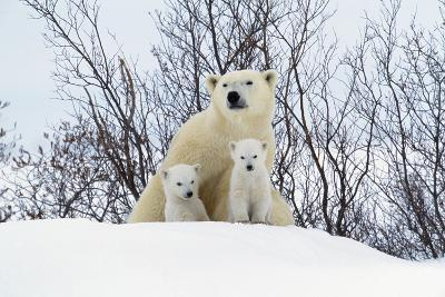Polar Bear and Cubs X Two Sitting--Photographic Print