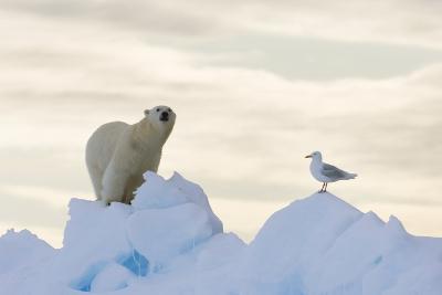Polar Bear And Seagull-Louise Murray-Photographic Print
