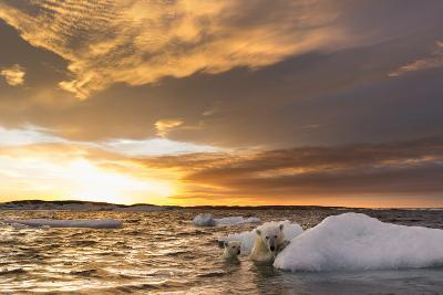 Polar Bear and Young Cub Cling to Melting Sea Ice at Sunset Near Harbor Islands,Canada-Paul Souders-Photographic Print