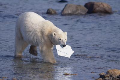 Polar Bear Carrying Styrofoam in Mouth-DLILLC-Photographic Print