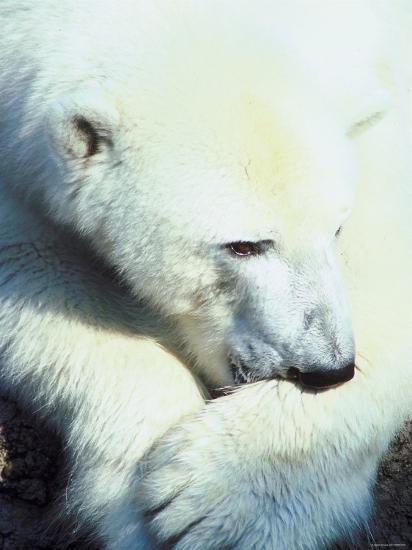 Polar Bear Chewing at Paw--Photographic Print