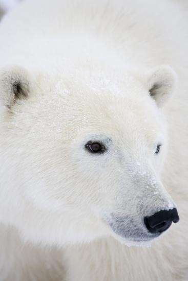 Polar Bear, Churchill, Mb Canada-Richard ans Susan Day-Photographic Print