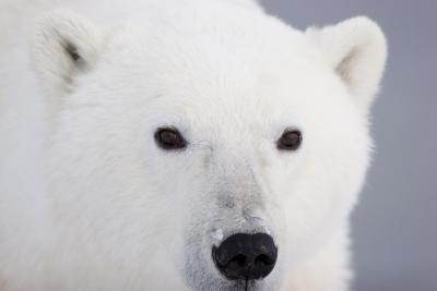 Polar Bear, Churchill, Mb-Richard ans Susan Day-Photographic Print