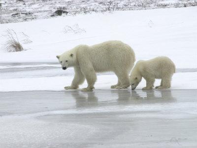 https://imgc.artprintimages.com/img/print/polar-bear-cub-in-churchill-manitoba_u-l-p4di0d0.jpg?p=0