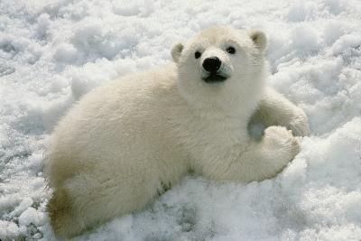 Polar Bear Cub Playing in Snow Alaska Zoo-Design Pics Inc-Photographic Print